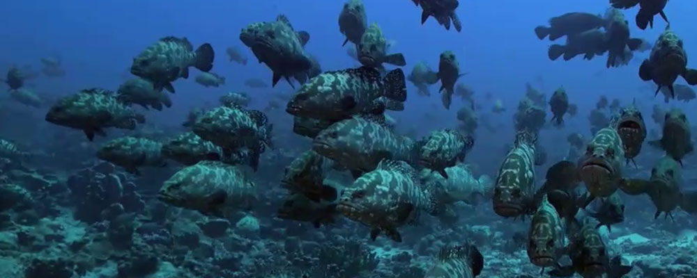 Les plongées à Fakarava Sud